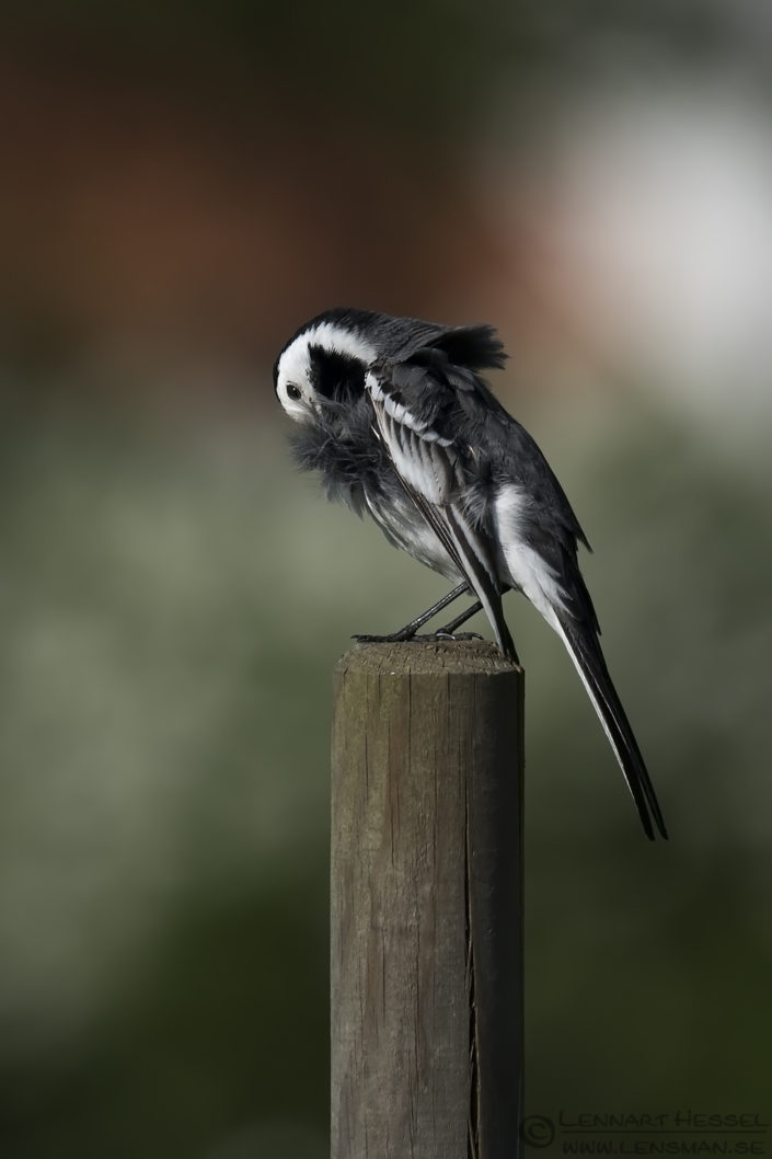 White Wagtail preening insects