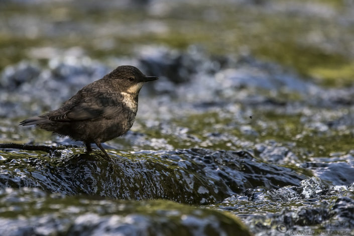 White-throated Dipper insects