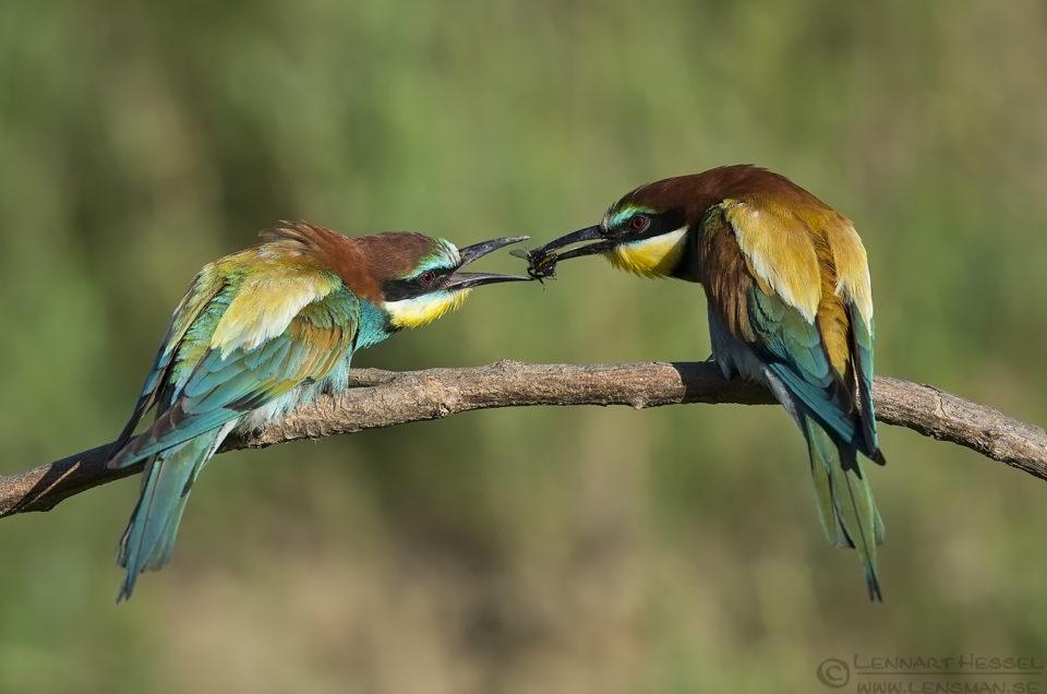 Bee-eater Bonanza 2016