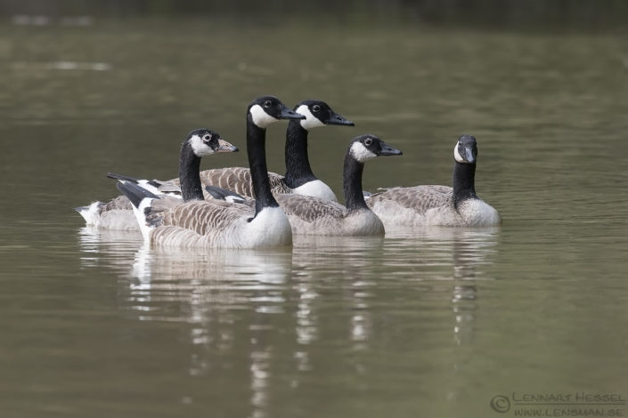Canada Geese insects