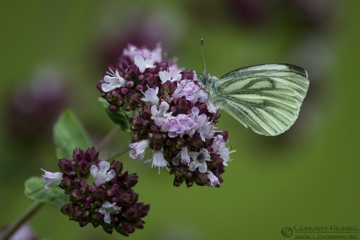 Green-veined White insects