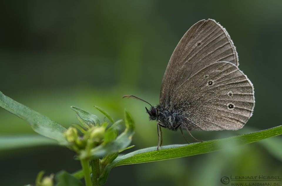 Ringlet insects