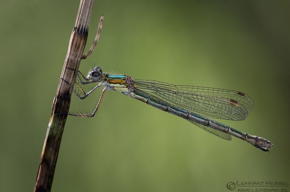Emerald damselfly warm
