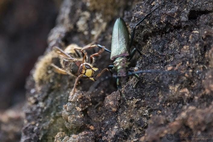 European Hornet attacking Capricorn beetle warm