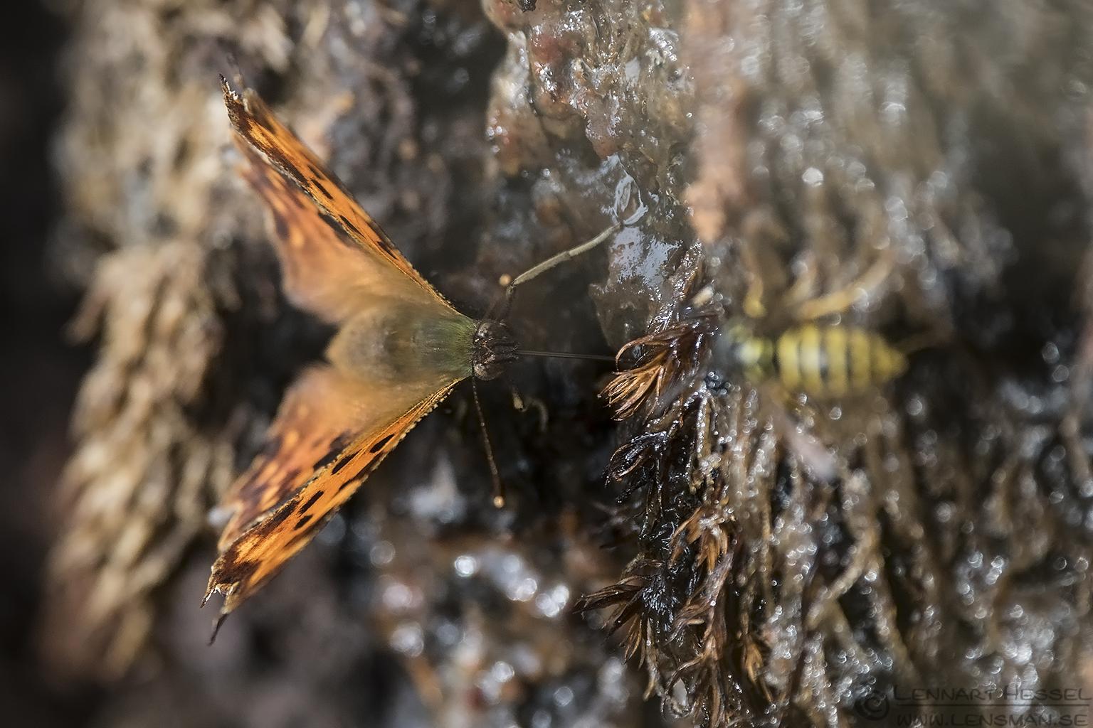 Queen of Spain fritillary & European Hornet warm