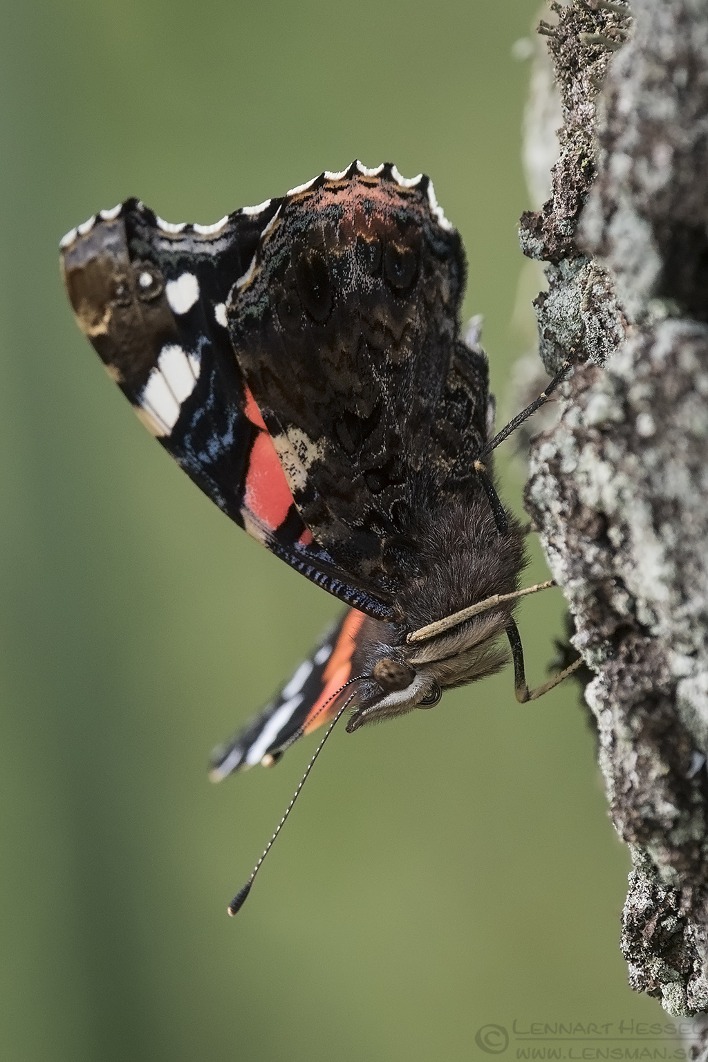 Red Admiral warm