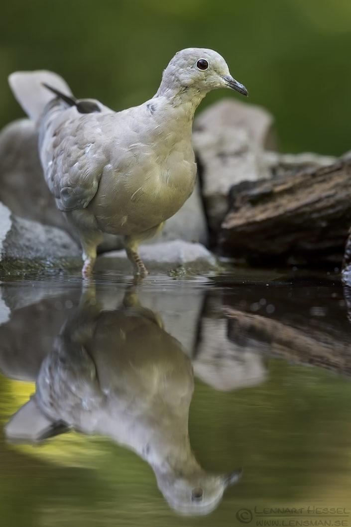 Collared Dove Hungary Bee-eater Bonanza