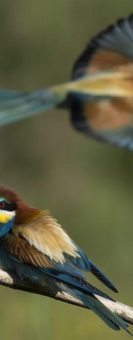 Hungary Bee-eater Bonanza 2016