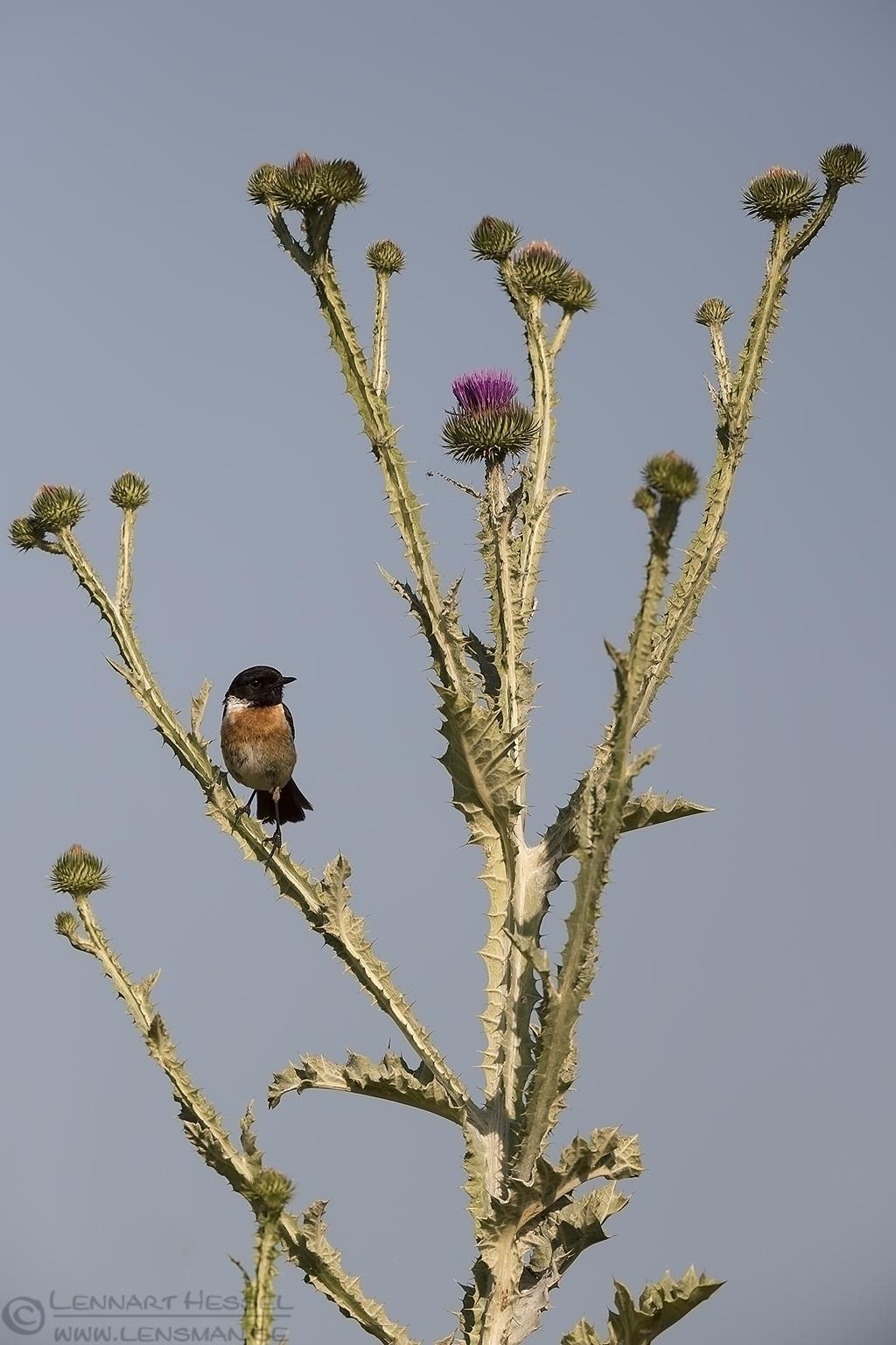 European Stonechat Hungary Bee-eater Bonanza