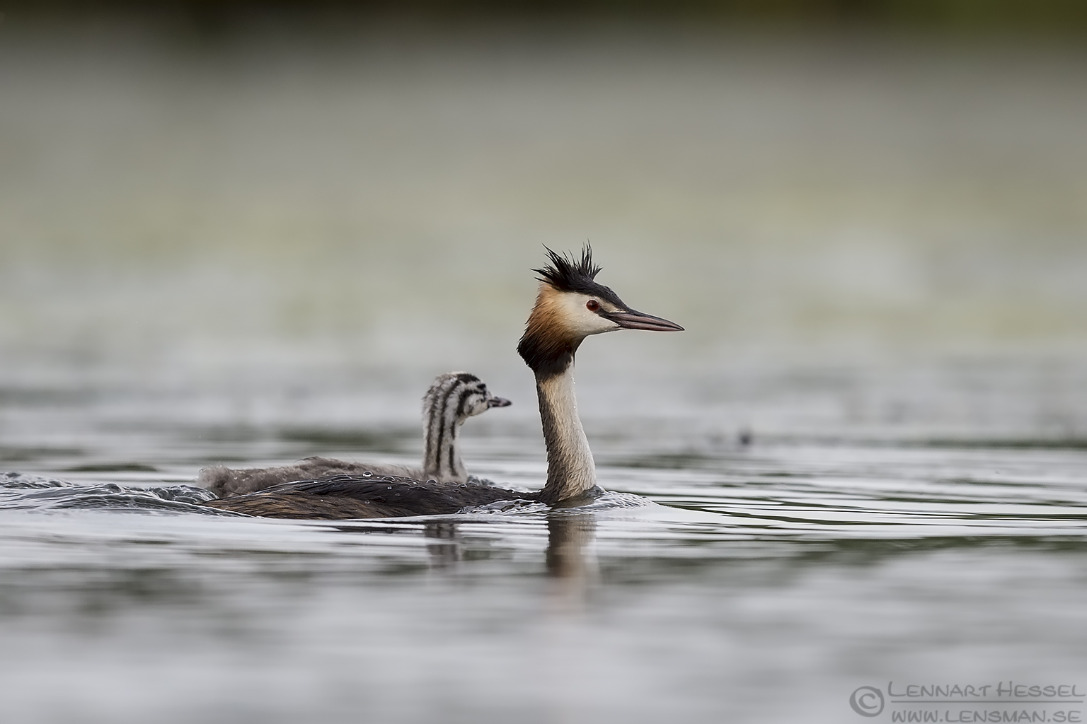 Great Crested Grebe Hungary Bee-eater Bonanza