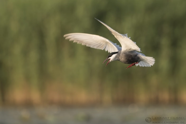Whiskered Tern Hungary Bee-eater Bonanza