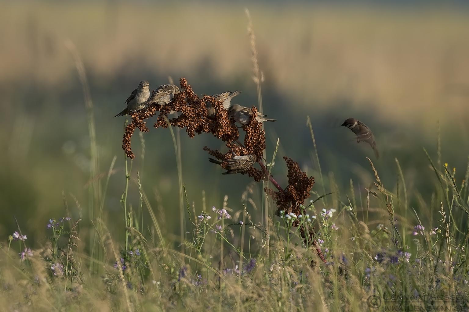 Tree Sparrows Hungary Bee-eater Bonanza