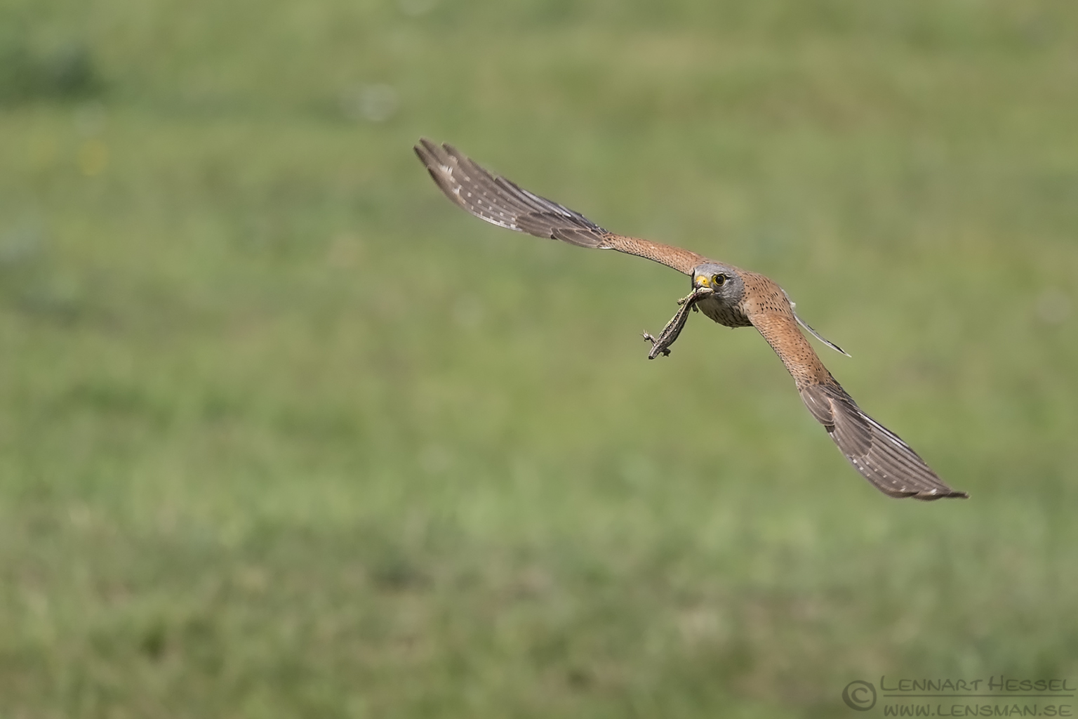 Common Kestrel Hungary Bee-eater Bonanza