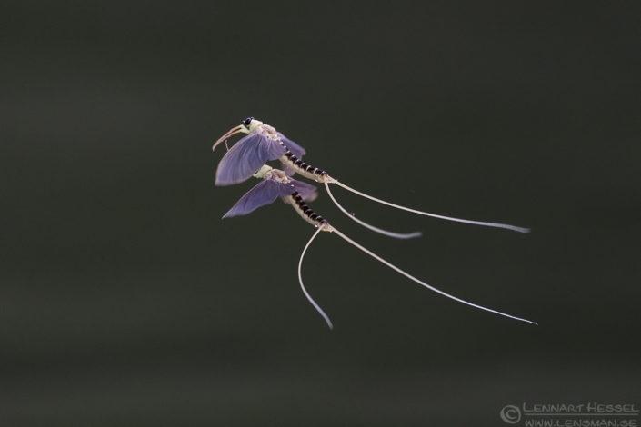Long-tailed Mayflies Hungary Bee-eater Bonanza