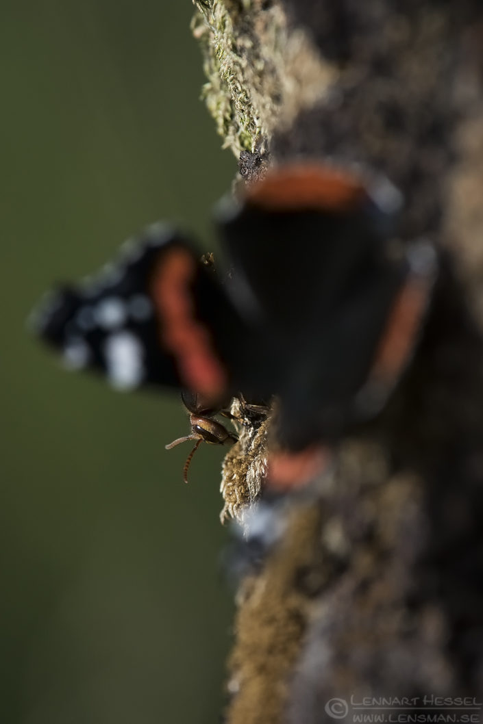 European Hornet and Red Admiral