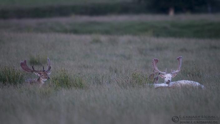 Fallow deers deer photography