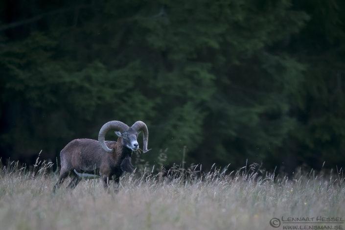 Mouflon deer photography