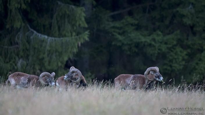 Mouflons deer photography