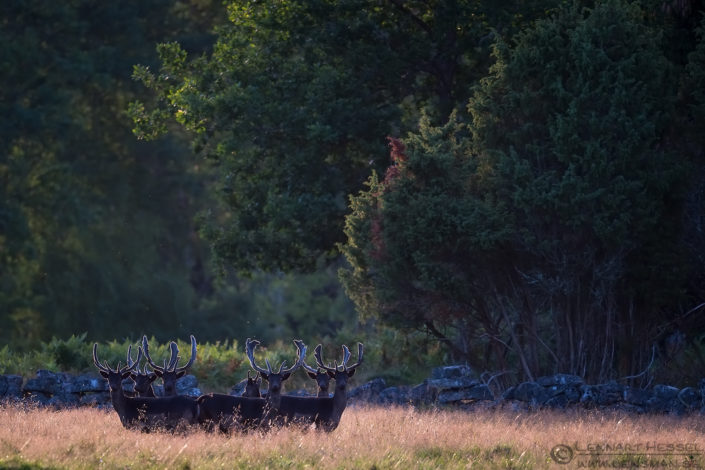 Fallow deer group deer photography