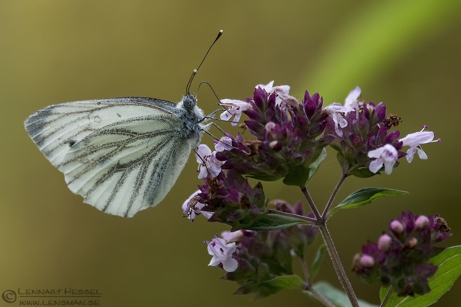Green-veined white deer photography