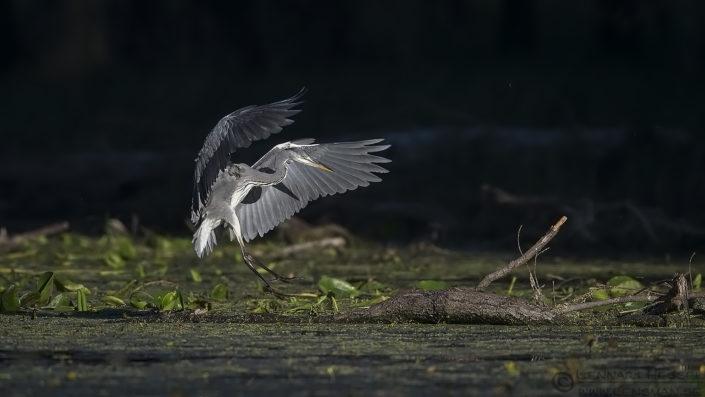 Landing Grey Heron Duna-Dráva National Park