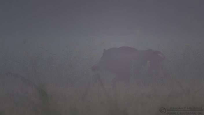 Wild boar in the mist Duna-Dráva National Park