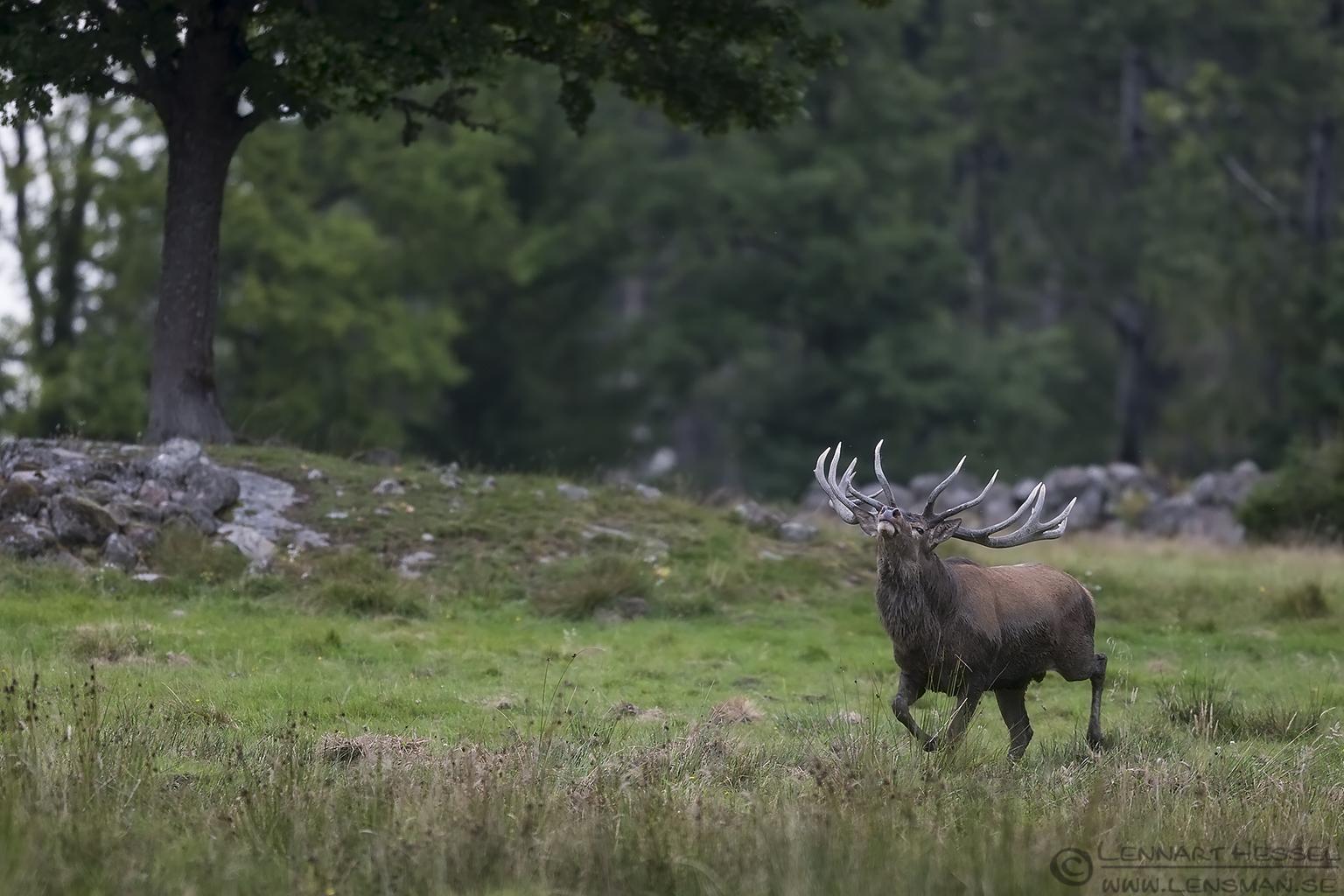 Dominant Red Deer