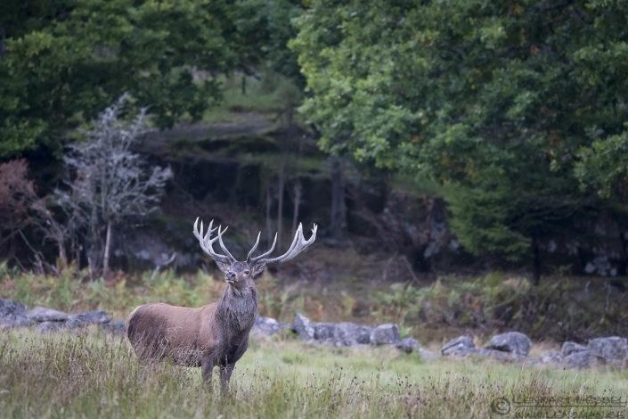 Looking Red Deer