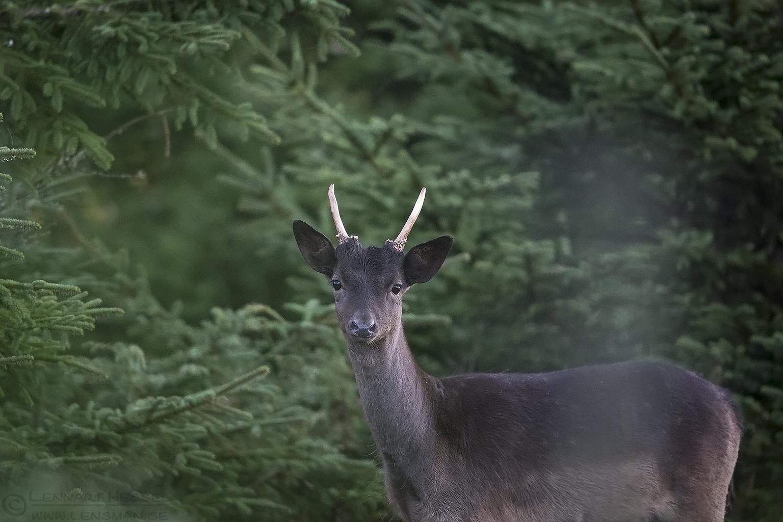 Fallowe Deer Red Deer