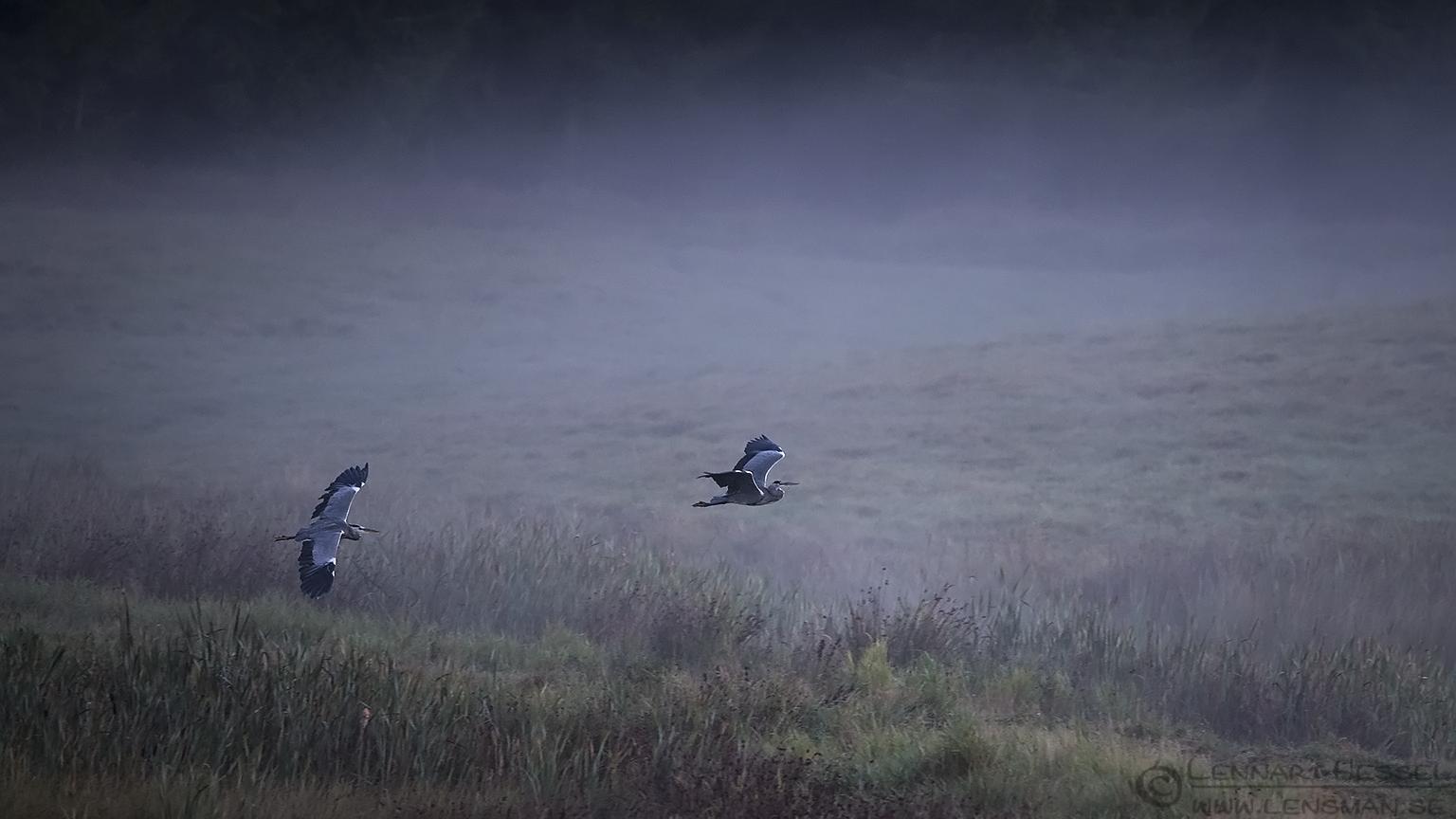 Flying Grey Herons Red Deer