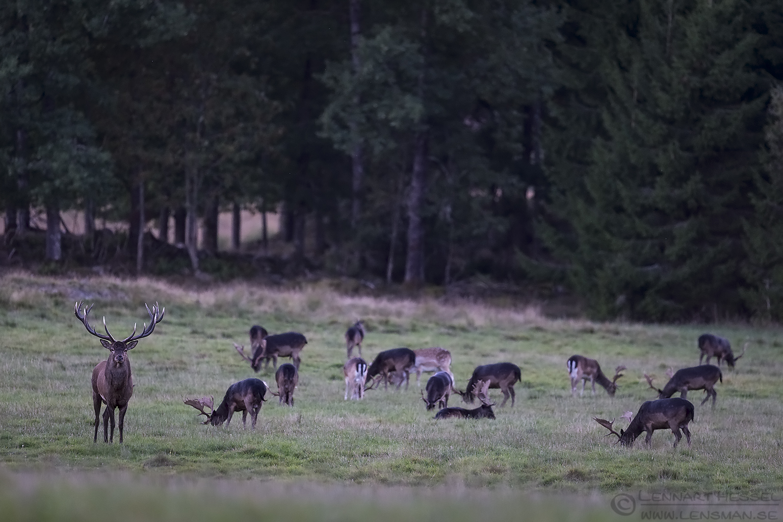 Red Deer and Fallow Deers