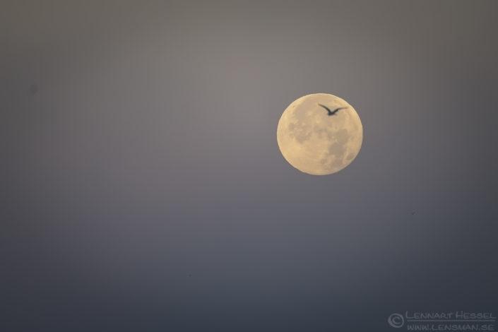 The moon Red Deer
