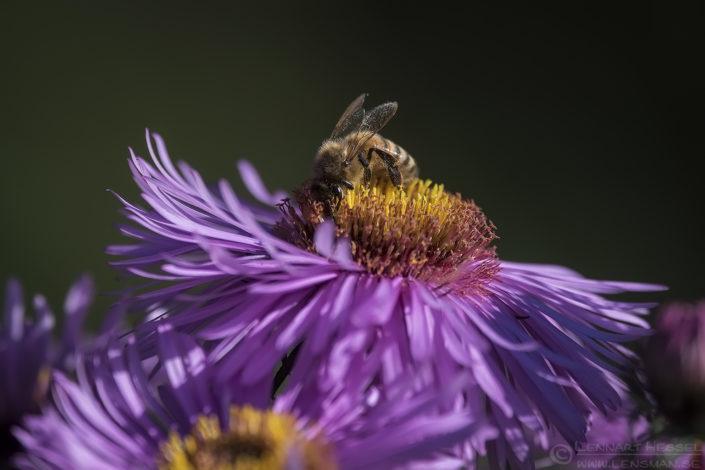 Western Honey Bee Red Deer