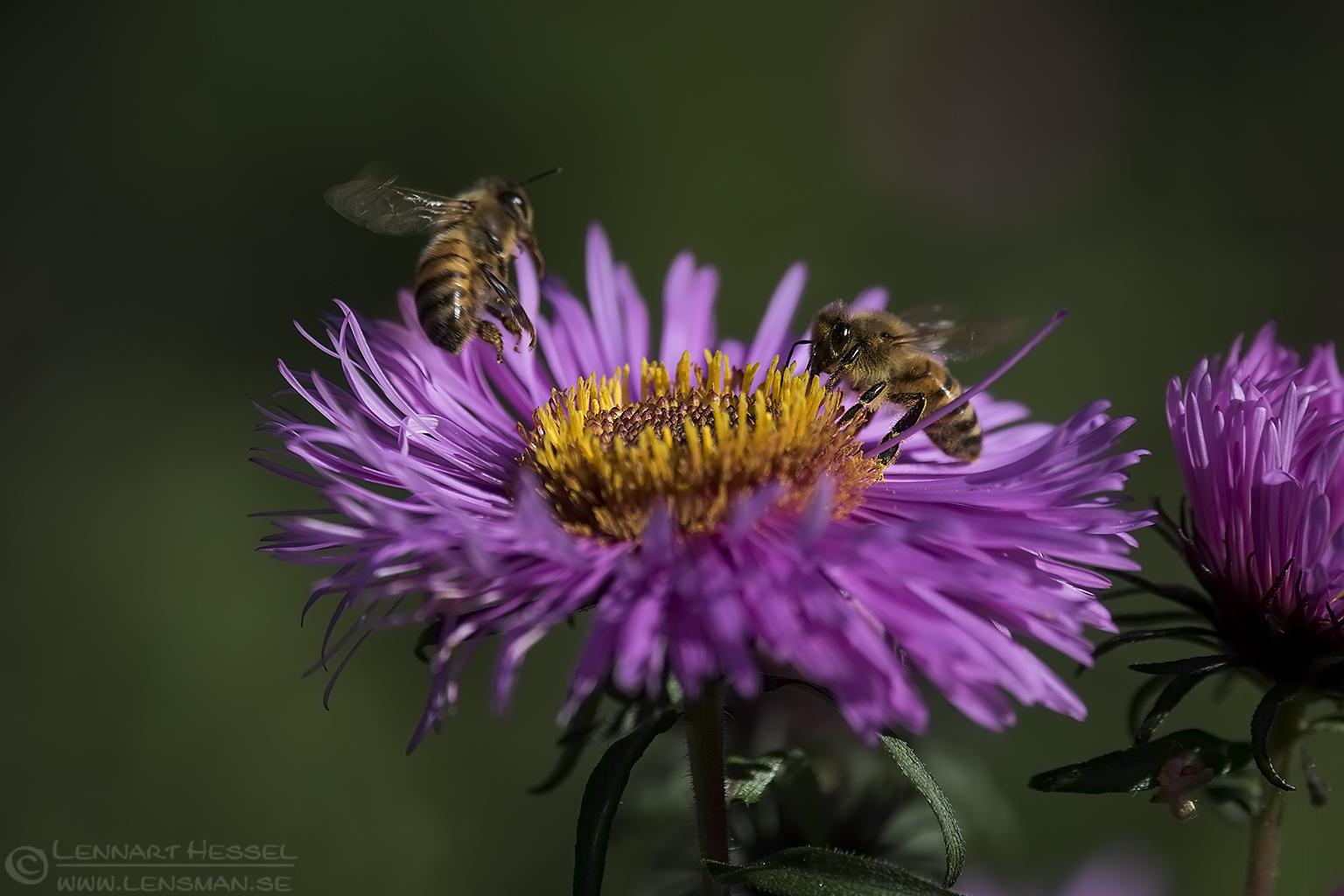 Western Honey Bees Red Deer