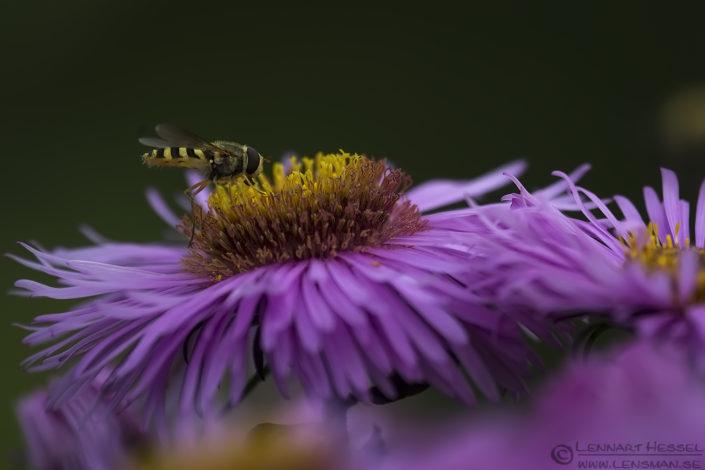 Hoverfly Red Deer