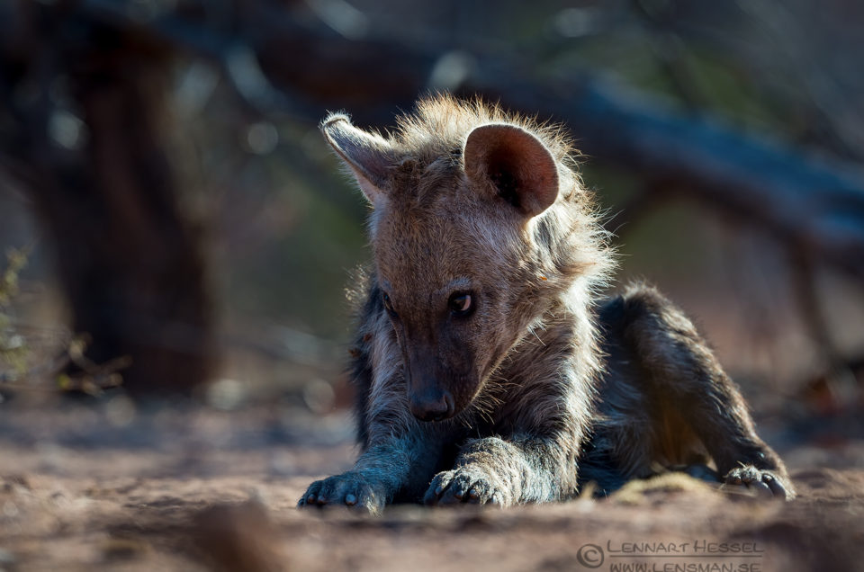 Spotted hyena pup game walking Botswana