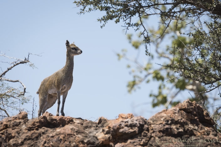 Klipspringer South Africa Mapungubwe road trip