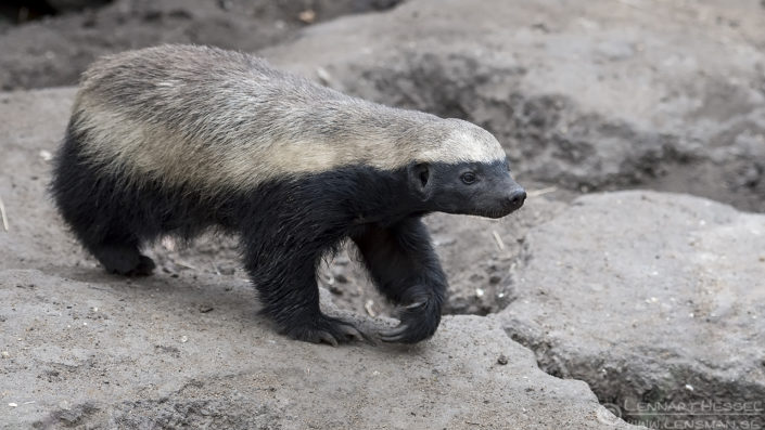 Henny Honey Badger South Africa Moholoholo road trip
