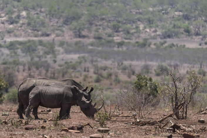 White rhino with calf South Africa Kruger road trip