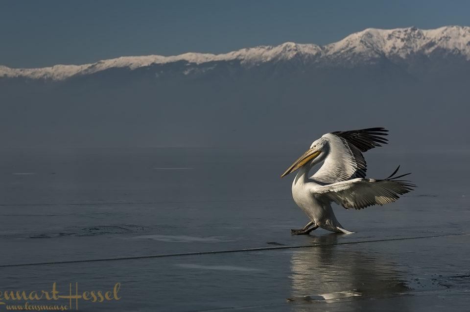 The Dalmatian Pelican workshop