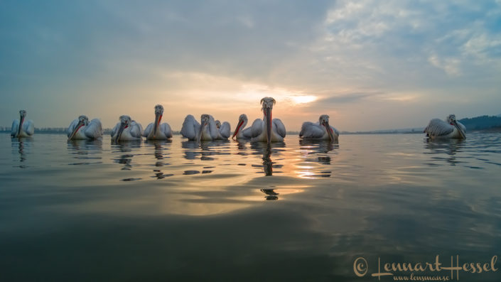 Dalmatian Pelican workshop