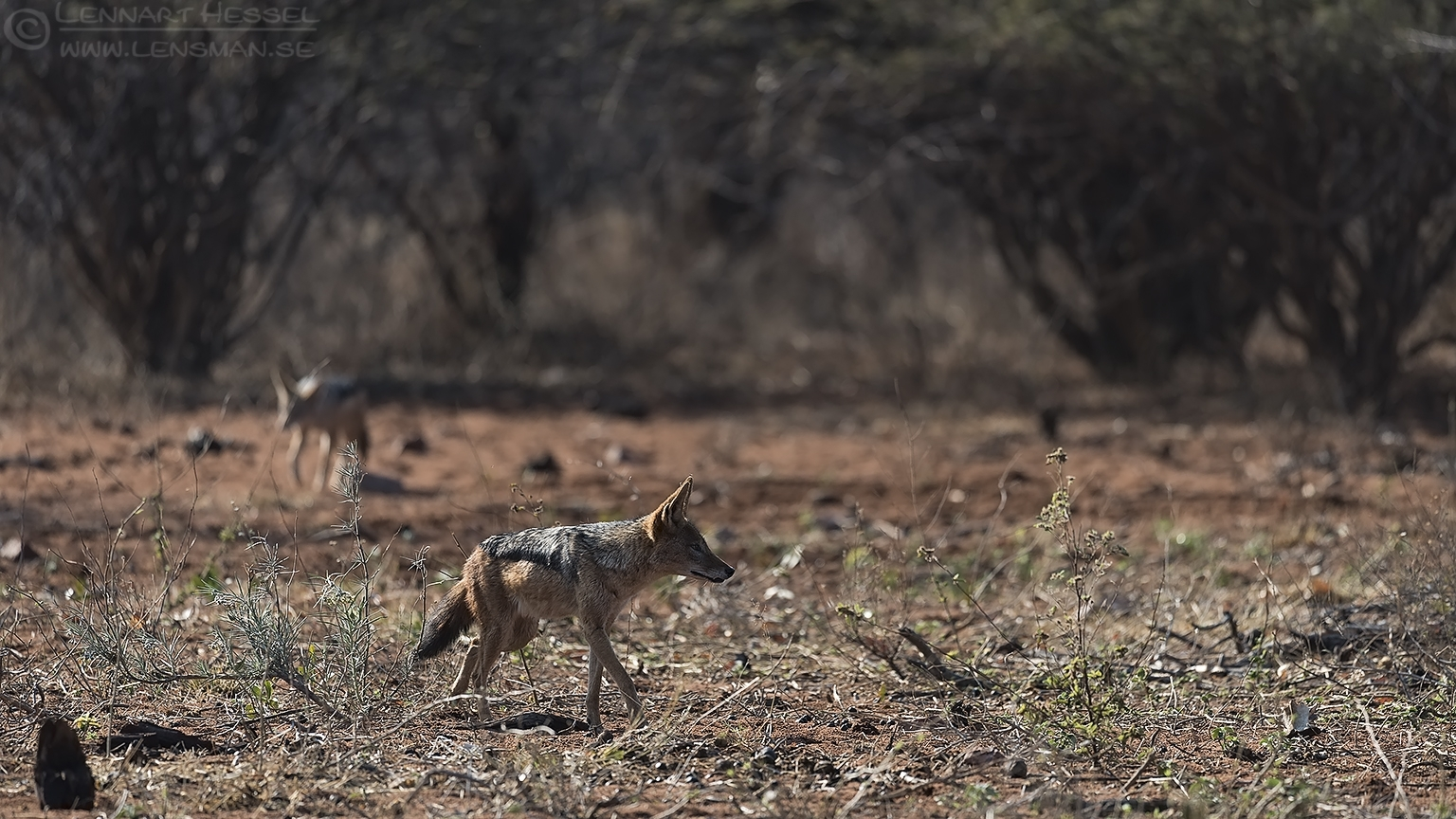 Black-backed Jackals Blouberg South Africa