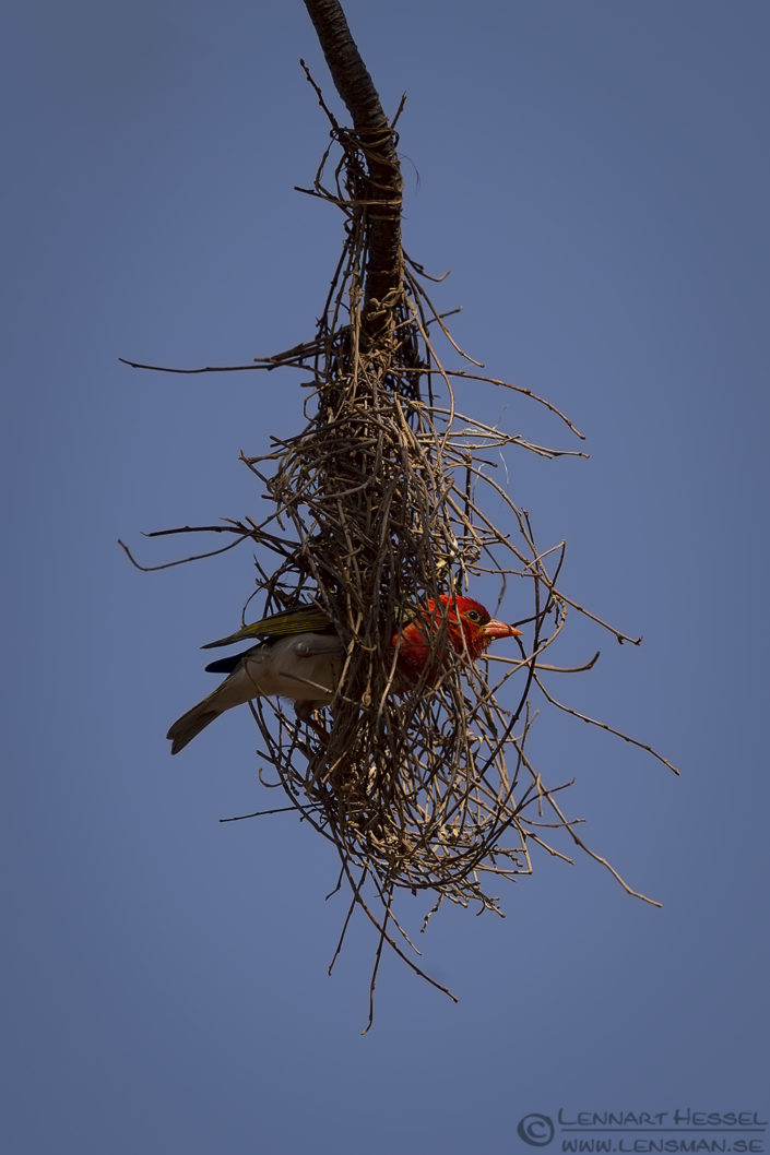 Red-headed weaver in nest Blouberg South Africa