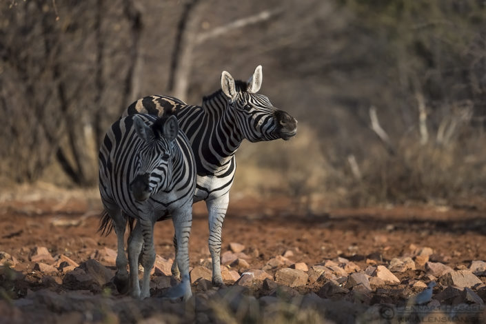 Zebras Blouberg South Africa