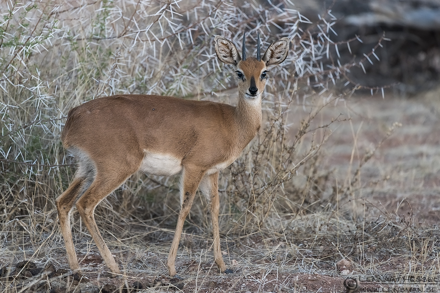 Steenbok Mapungubwe South Africa