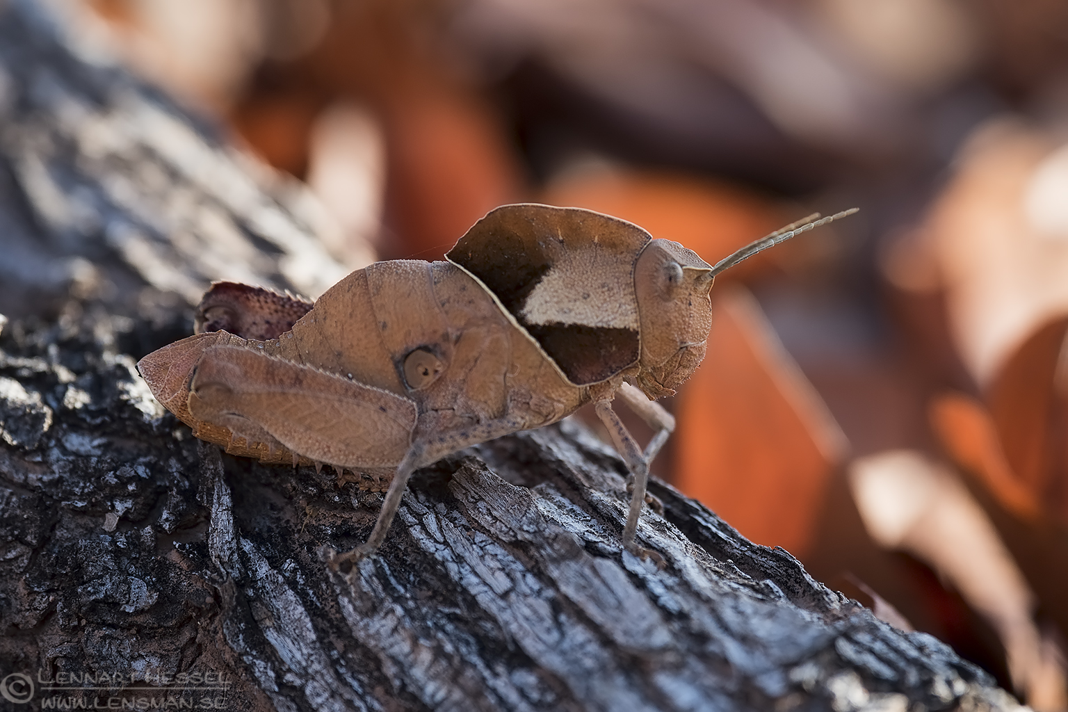Mopane Grasshopper Tuli Block Tuli Wilderness