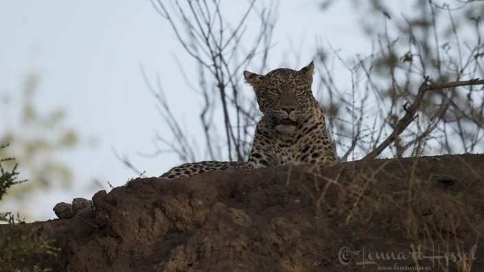 Leopardess looking Tuli Block Mashatu Game Reserve
