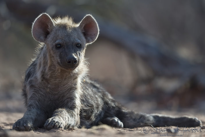 Spotted Hyena pup Tuli Block Tuli Wilderness