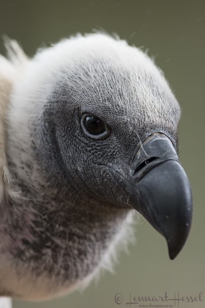 White-backed Vulture close up Moholoholo South Africa
