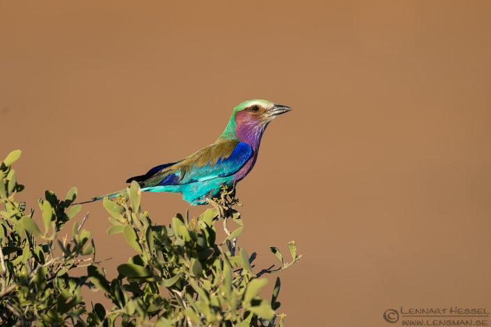 Lilac-breasted Roller Tuli Block Tuli Wilderness